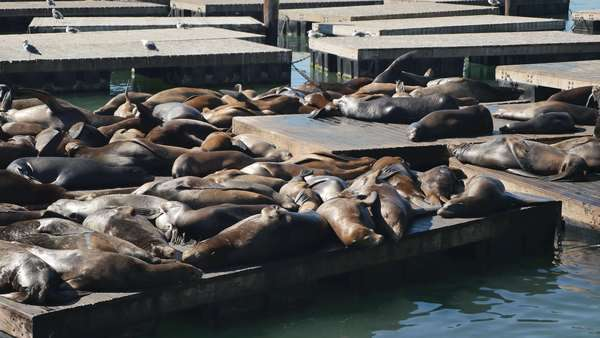 SAN FRANCISCO - Circa October, 2015 - Sea Lions rest on the docks near Pier 39 in San Francisco.    Royalty-free stock video