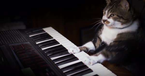 A funny cat playing a keyboard or organ.  	 Royalty-free stock video