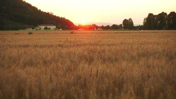 Flying over cornfield during sunset Royalty-free stock video