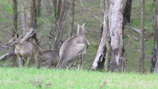Tracking shot of a kangaroo hopping in a forest Royalty-free stock video