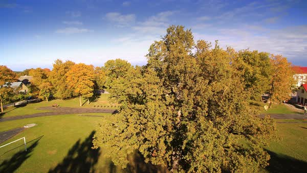 The big oak tree in the middle of the park in Hiiumaa, Estonia Royalty-free stock video