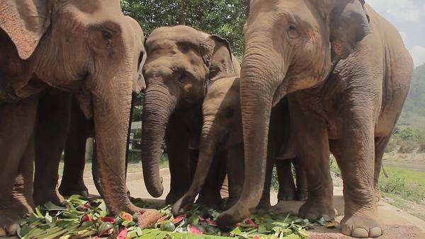 Wide shot of a feeding elephant herd Royalty-free stock video