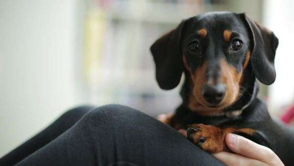 Miniature dachshund sitting and looking at camera Royalty-free stock video