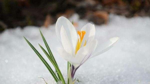 Saffron crocus first spring flowers between melting snow yellow saffron crocus first spring flower bloom close up between snow move in wind royalty mightylinksfo