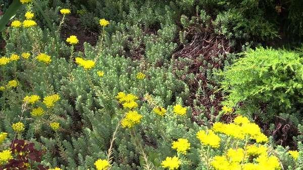 Yellow Succulent Orpin Plant Flower Blooms Grow In Garden Bumblebee