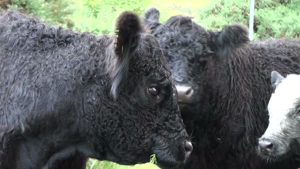 Close-up of black Scottish highland cows Royalty-free stock video