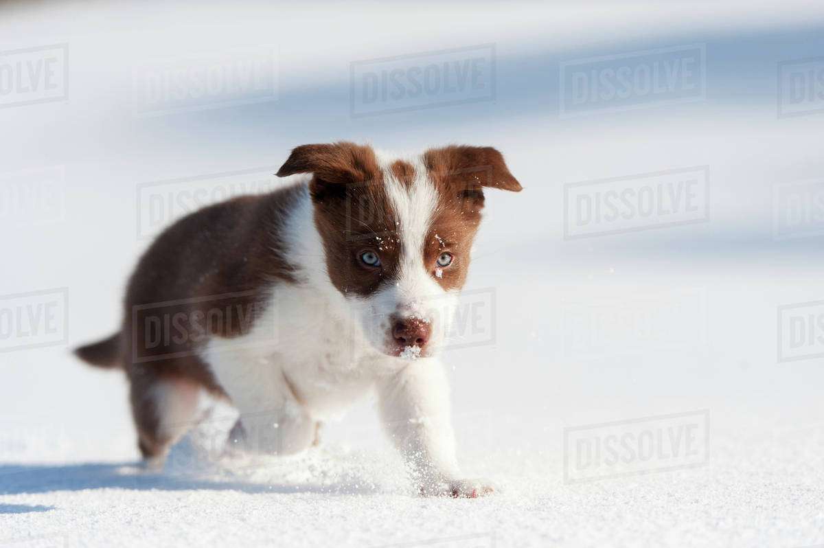 Red And White Border Collie Puppy Playing In Snow Yorkshire