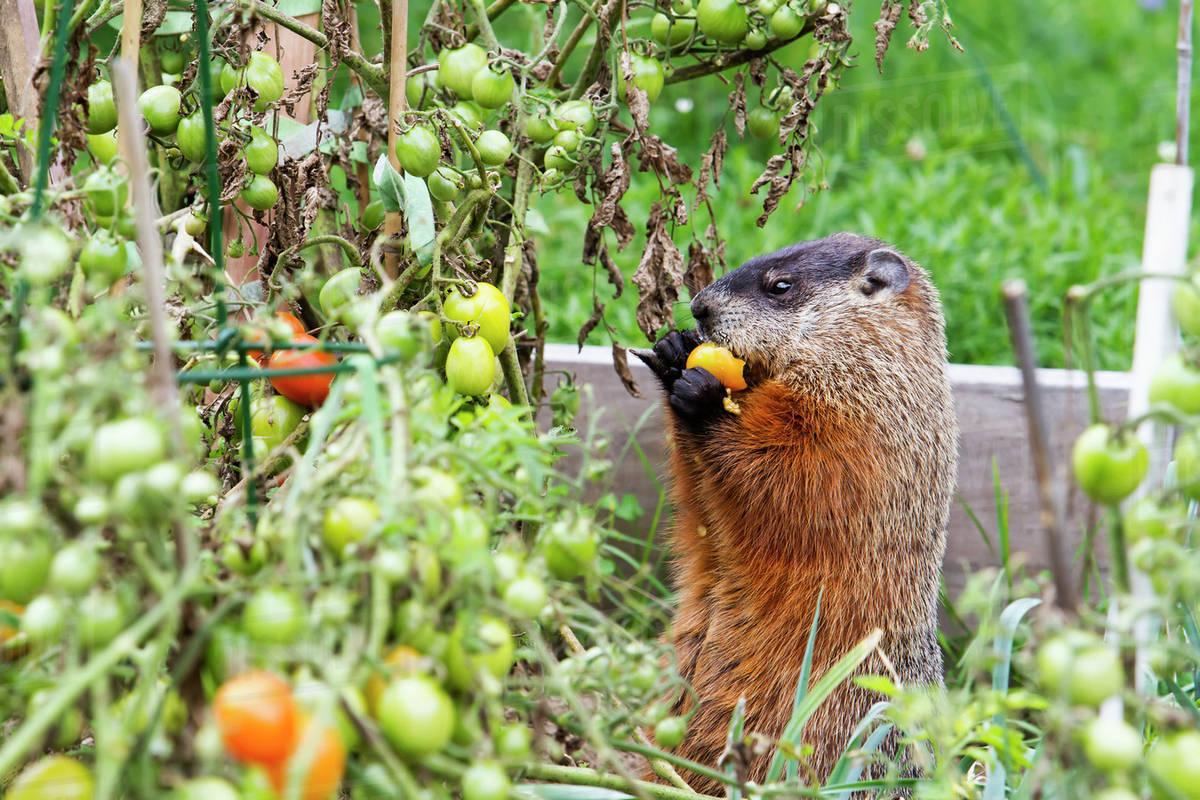 Marmot (Marmota monax) eating tomatoes in a garden; Quebec, Canada - Stock  Photo - Dissolve