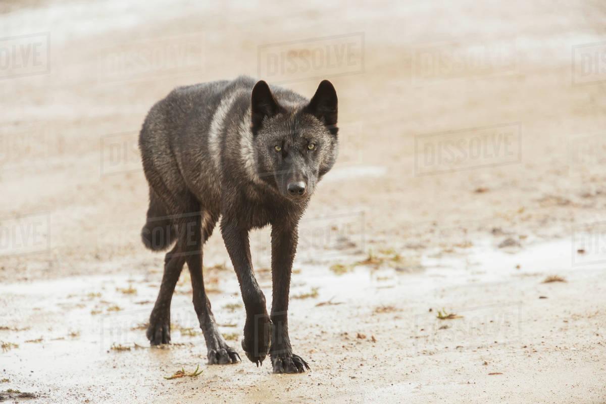 Black wolf along the coast of Hudson Bay; Manitoba, Canada Royalty-free stock photo
