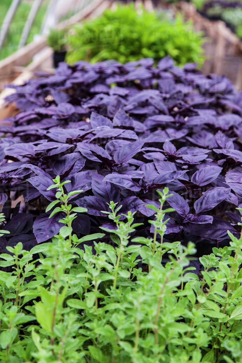 The Dark Purple Leaves Of Red Rubin Basil Plants Growing In A