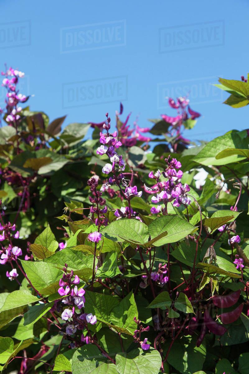 The distinctive purple flowers dark purple pods and green and the distinctive purple flowers dark purple pods and green and purple leaves of lablab purpureus commonly known as the hyacinth bean toronto ontario mightylinksfo