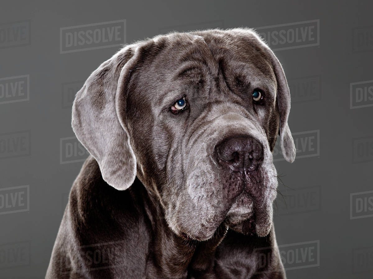 Italian Mastiff Dog Montreal Quebec