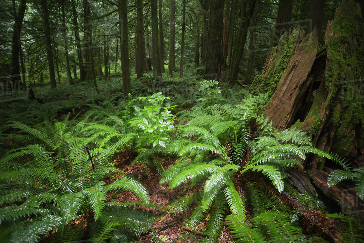 Ferns In A Temperate Rain Forest Covering The Forest Floor Bridal