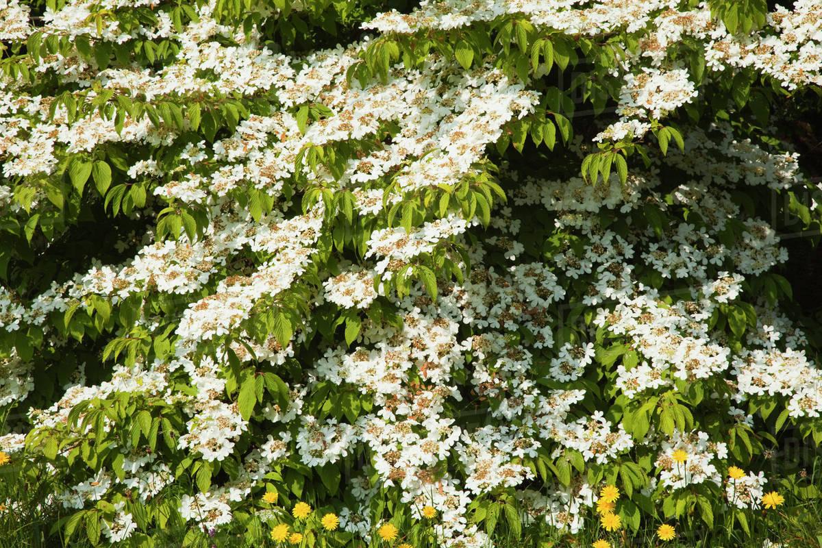 White Flowers Growing On A Shrub At Mount Usher Gardensashford