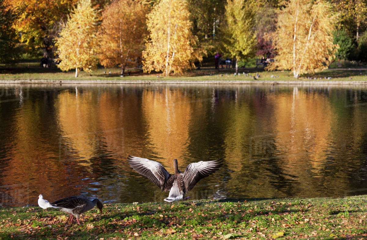 Ducks At The Waters Edge With A Reflection Of Autumn Coloured Trees In Lake St Jamess Park London England