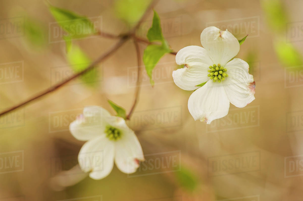 Blossoming White Dogwood Flowersohio United States Of America
