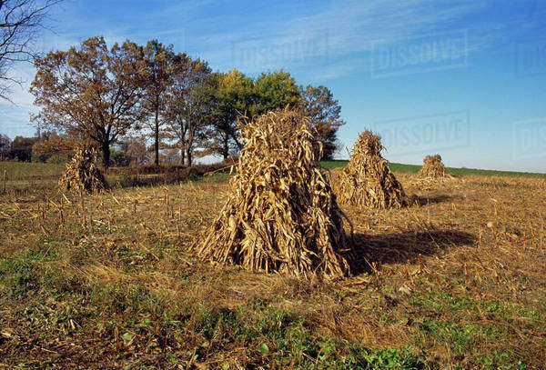 Agriculture - Corn shocks in Autumn field / LaGrange County, Indiana, USA. Royalty-free stock photo