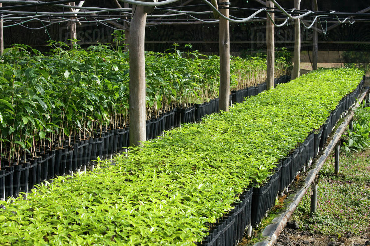 Agriculture Kona Coffee Seedlings At A Nursery Prior To Being Transplanted In The Field Hawaii Usa