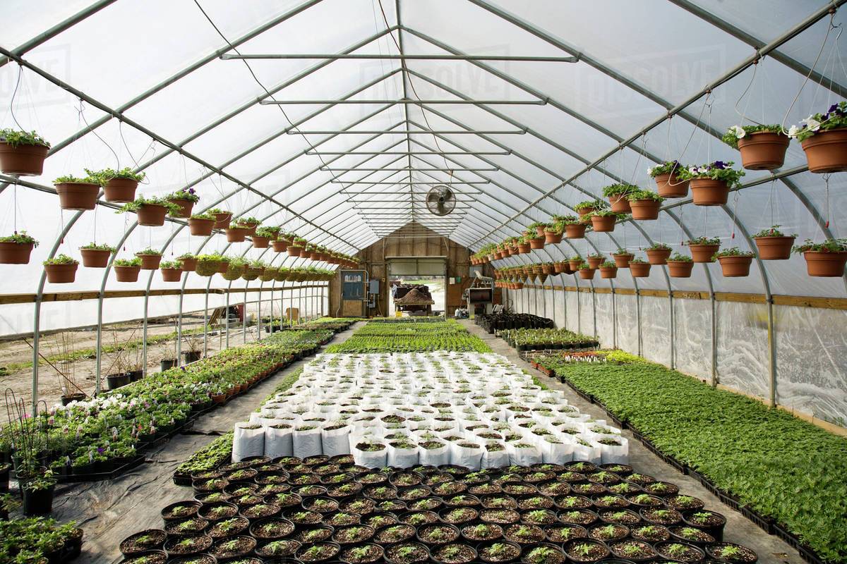 Agriculture - A greenhouse with Fresh Market tomato and basil plant  seedlings, and pots of spring annual flowers hanging above at a local  family