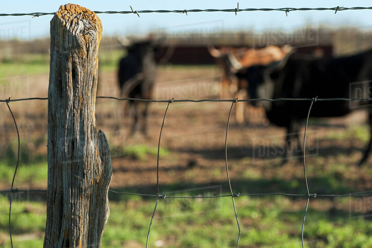 Barbed wire fence cattle Electric Fence Agriculture An Old Barbed Wire Fence With Beef Cattle In The Background Near Claude Texas Usa Dissolve Agriculture An Old Barbed Wire Fence With Beef Cattle In The