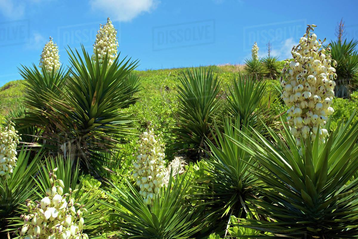 White Tropical Flowers Blossoming Along Kealia Bike Path Kauai