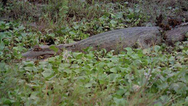 Approaching a Caiman in water with plants Rights-managed stock video