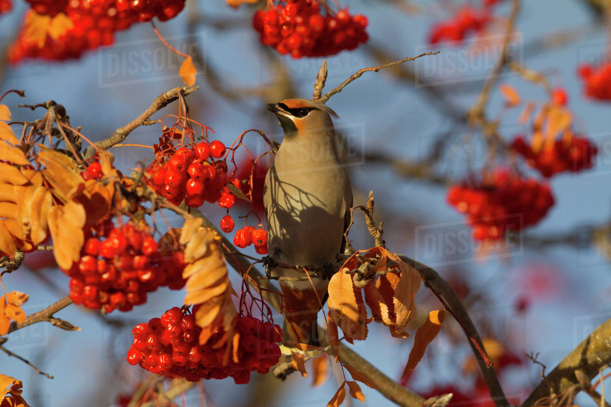A Bird In A Tree With Clusters Of Bright Red Berries Stock Photo