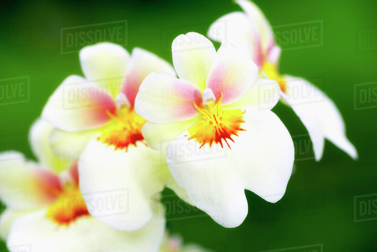 White And Red Orchid Holualoa Big Island Hawaii United States Of
