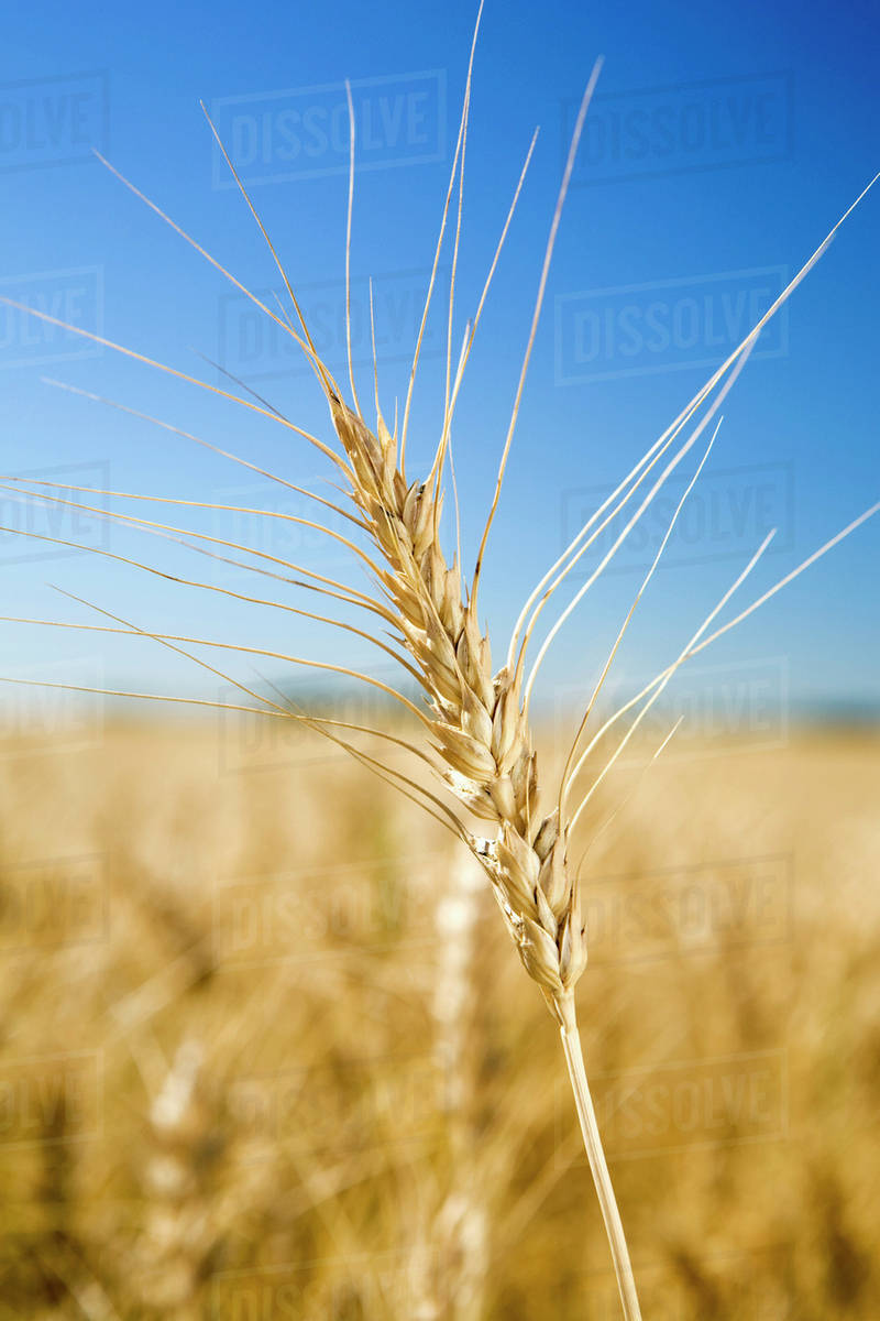 Close Up Of Golden Wheat Head In A Wheat Field D869 31 489