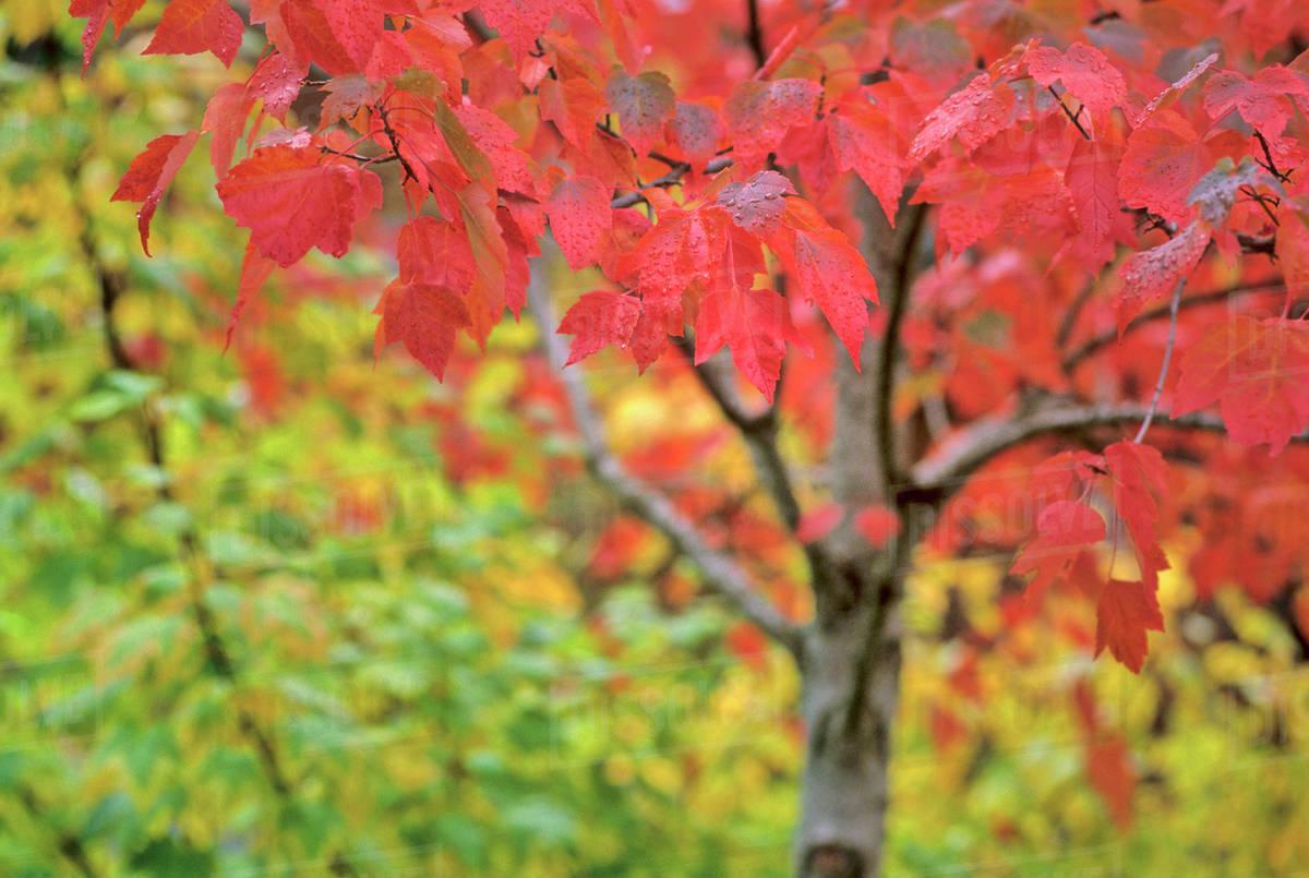 Maple Tree Shows Red Leaves Against