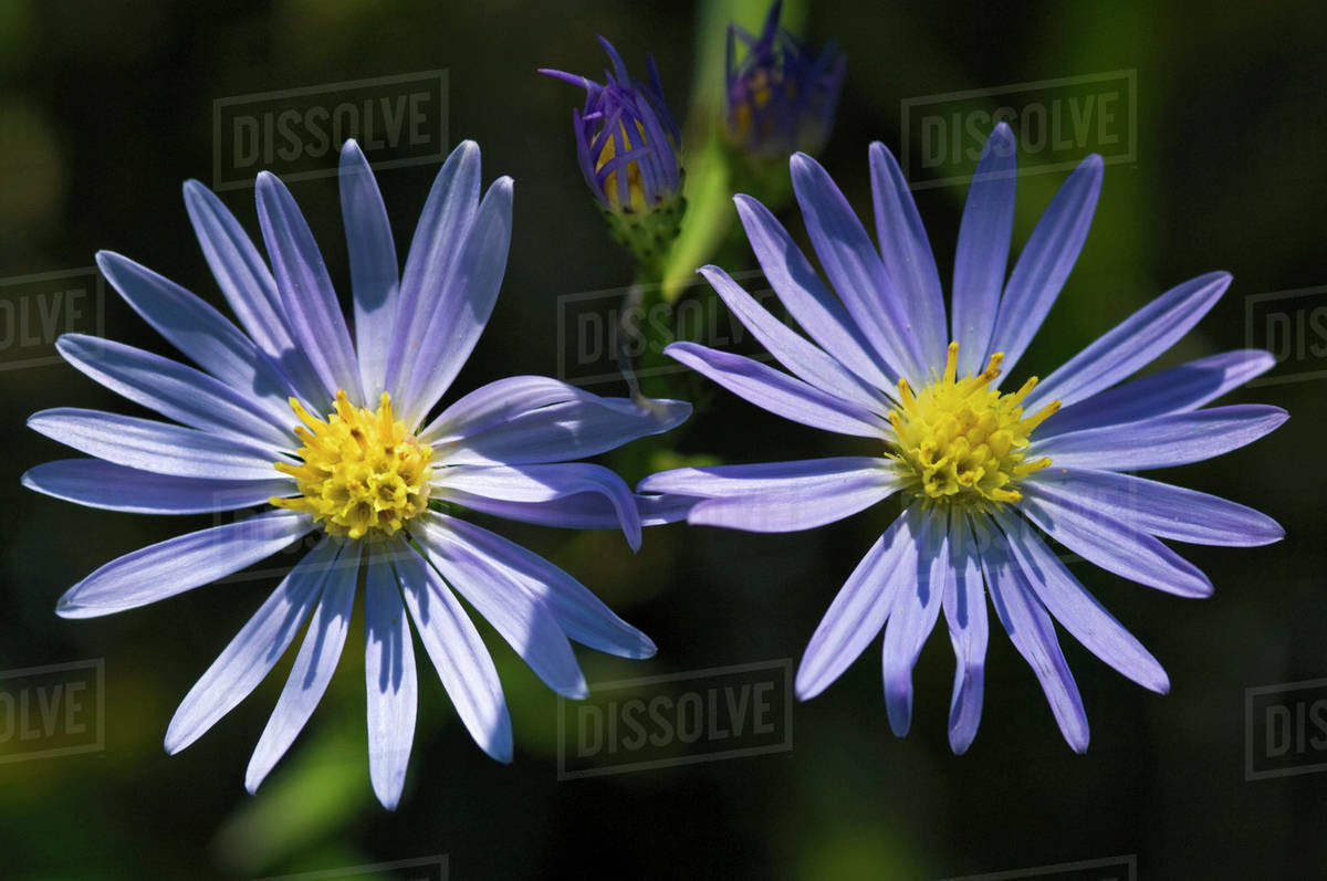 Aster Flowers Lake Erie Shoreline Ontario Canada Stock Photo