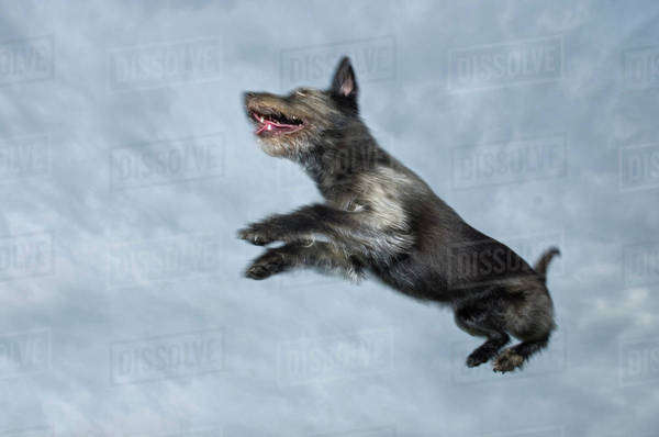 Mixed Breed Dog Leaping Through Air, Canada, Alberta Royalty-free stock photo