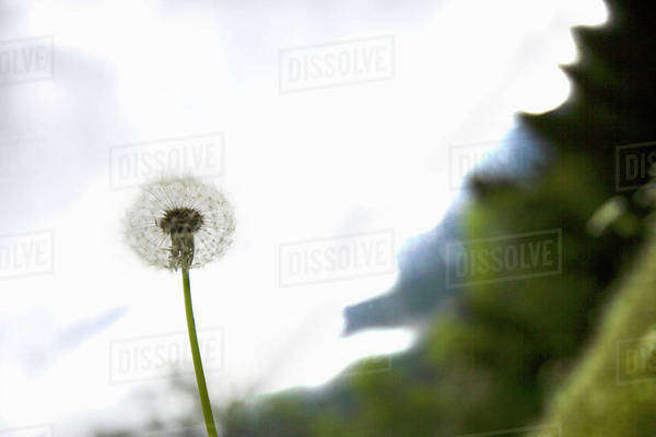 Dandelion, Chamonix, France Royalty-free stock photo