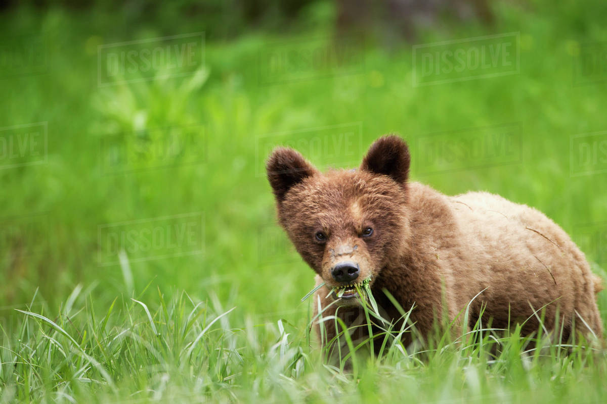 Grizzly bear (ursus arctos horribilis) cub with dangerous expression eating grass at the khutzeymateen grizzly bear sanctuary near prince rupert;British columbia canada Royalty-free stock photo