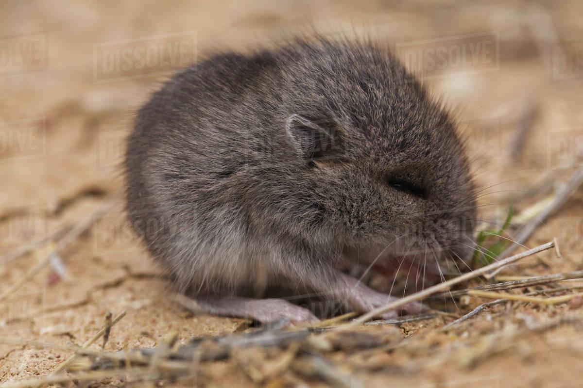 baby deer mouse in badlands national park south dakota
