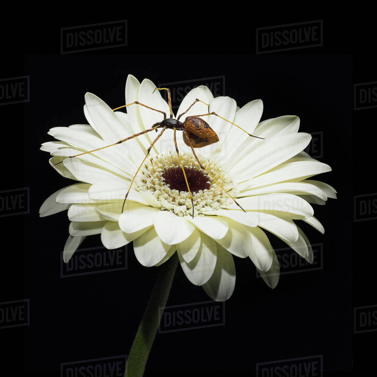 A Spider Sits On A White Gerbera Flower Stock Photo Dissolve