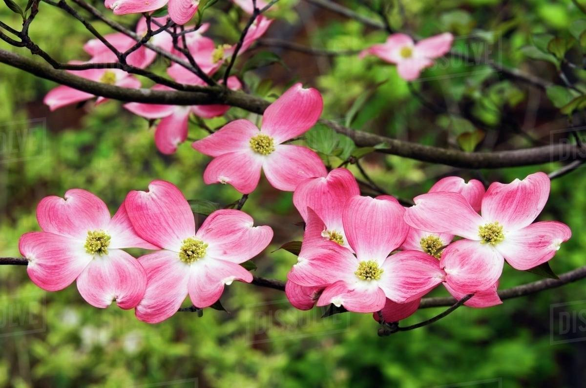 Pink Flowers On A Dogwood Tree Stock Photo Dissolve