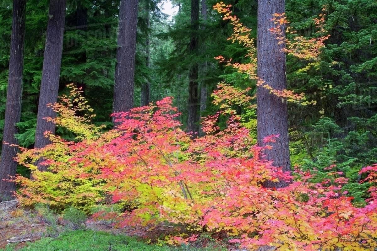 Oregon Cascades United States Of America Vine Maple Acer