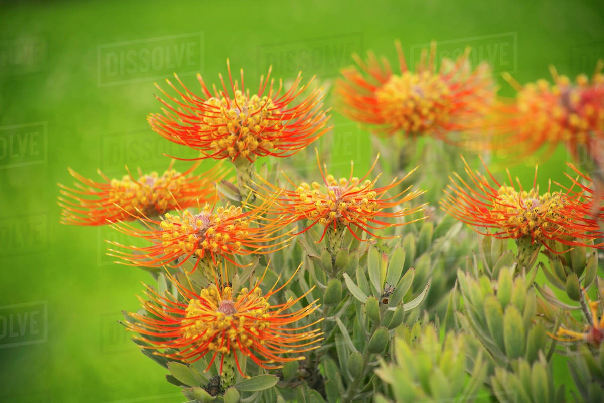 Pin Cushion Protea Maui Hawaii United States Of America Stock Photo