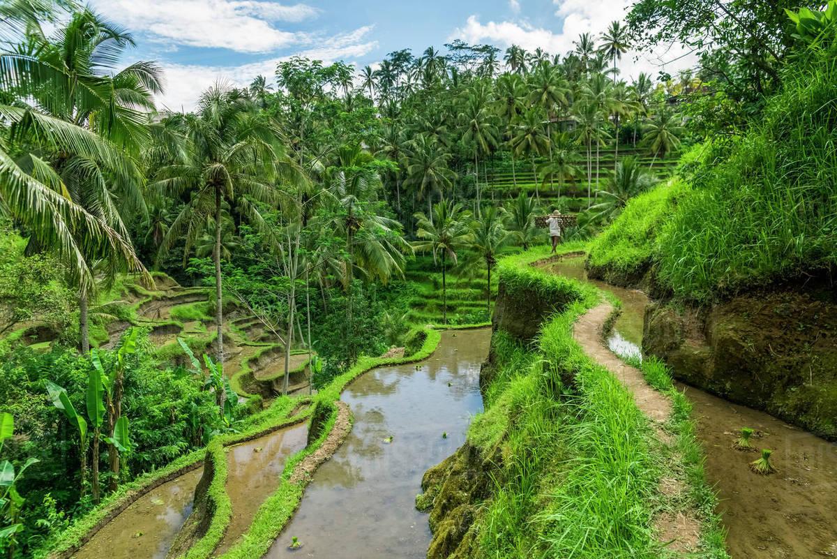 Tegallalang Rice Terraces Near To Ubud Tegallalang Bali Island