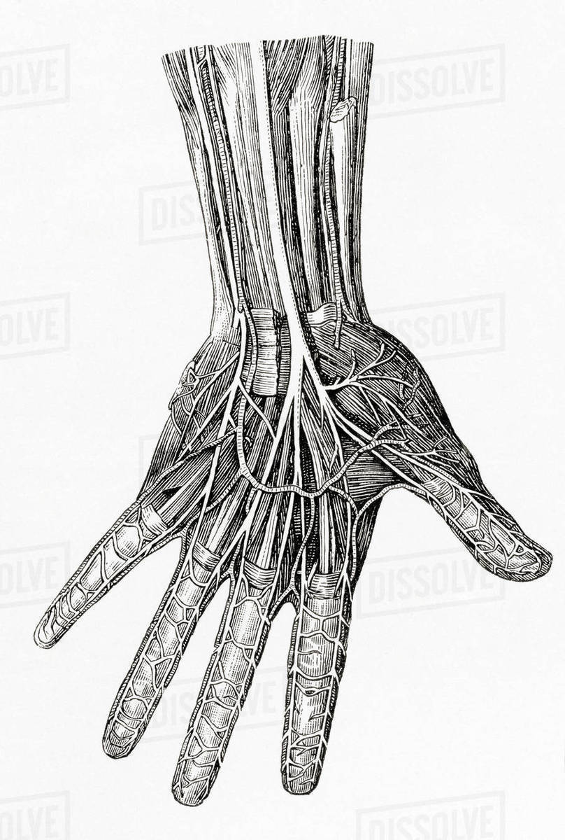 D869_85_301_1200 diagram showing the nerves of the human hand from meyers lexicon