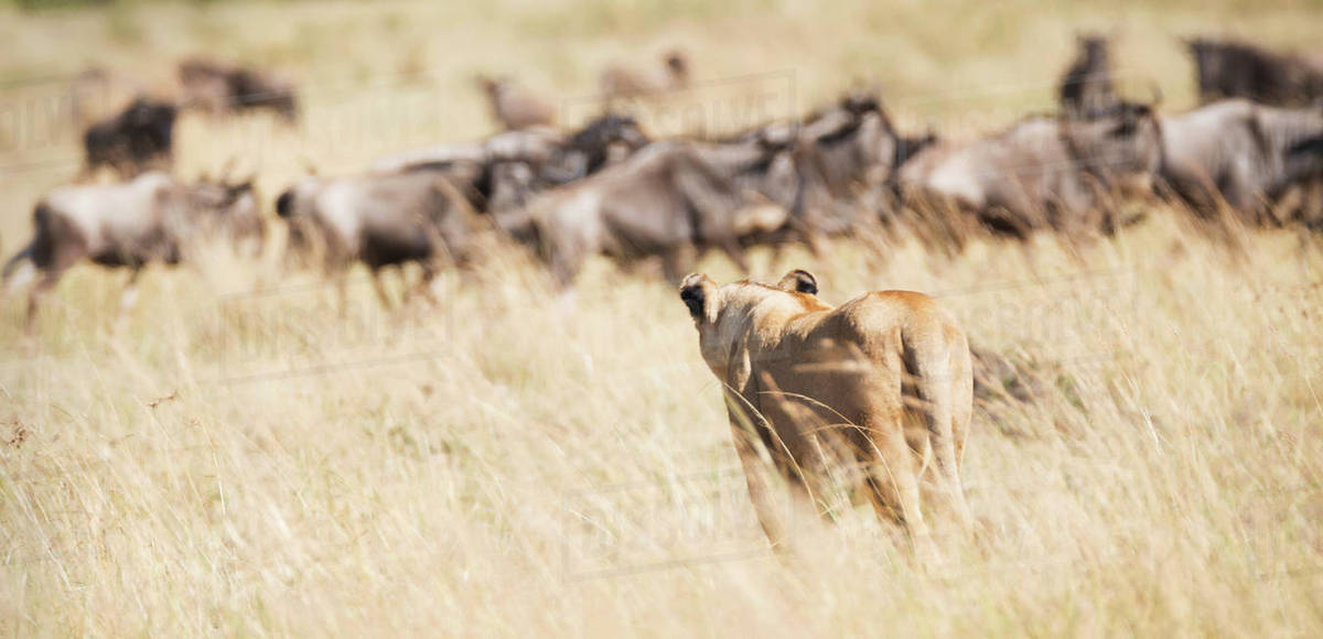A Lioness Panthera Leo Seen From Behind Confronts A Group Of