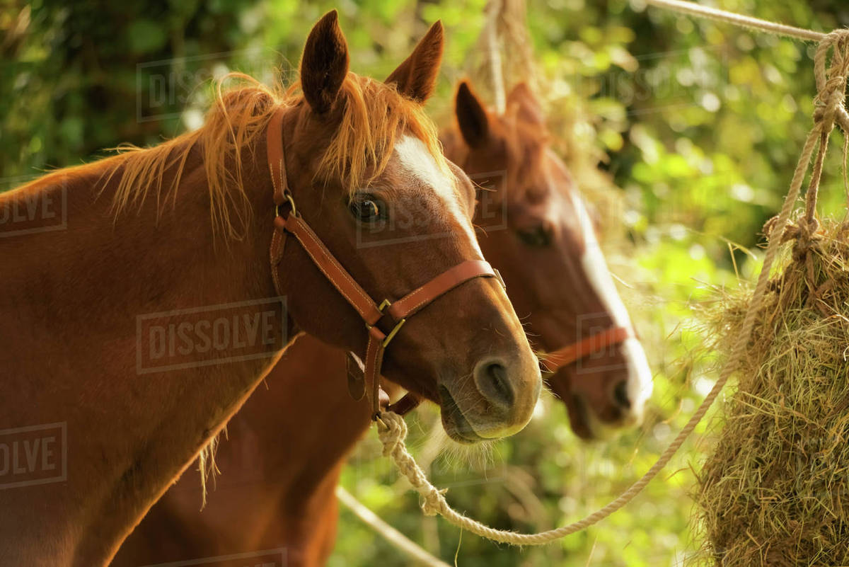 Two Chestnut Horses In Trees Eating Hay Battle England Stock Photo Dissolve