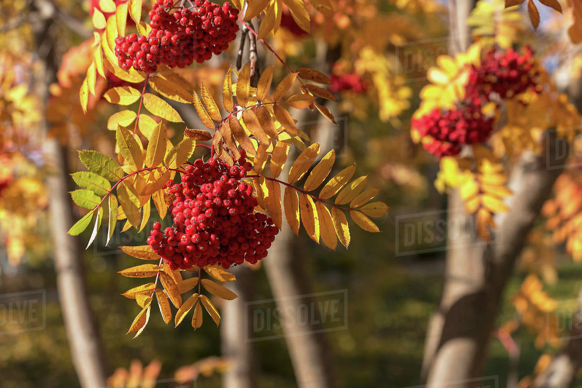 Clusters Of Red Berries On A Mountain Ash Sorbus Aucuparia Tree