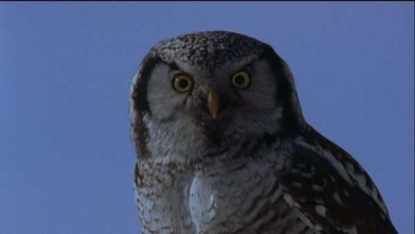 Close-up shot of a Northern hawk-owl Royalty-free stock video