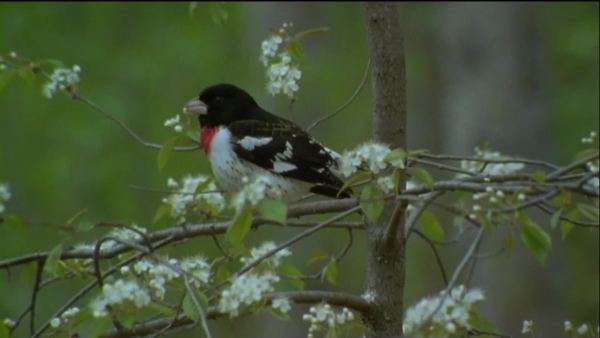 Wide shot of a rose-breasted grosbeak perched on a tree Royalty-free stock video
