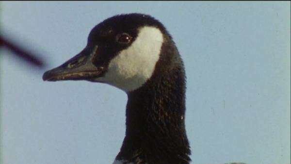 Close-up shot of a Canada goose Royalty-free stock video