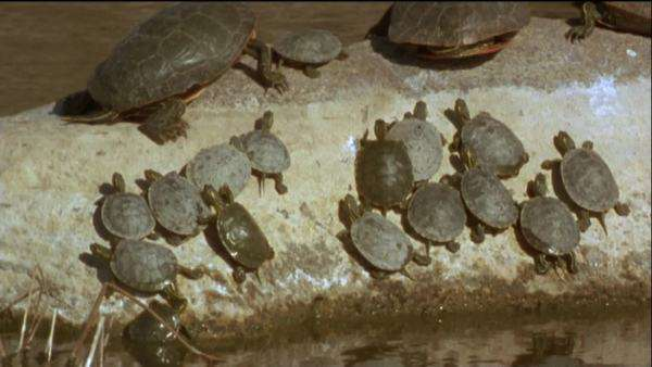 Wide shot of Painted turtles basking on a rock Royalty-free stock video