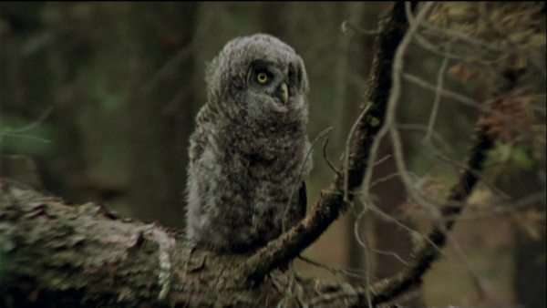 Medium shot of a great gray owlet perching on a tree Royalty-free stock video