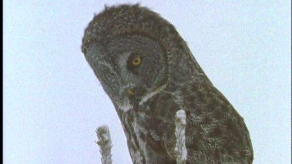 Medium shot of a great gray owl perching in snowfall Royalty-free stock video